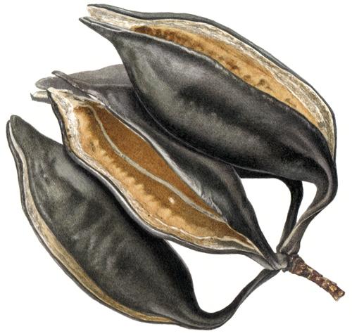 Illawarra Flame Tree seedpod