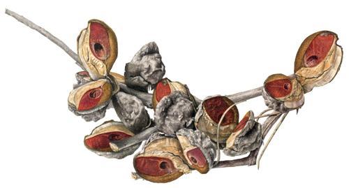 hairy hakea seedpods