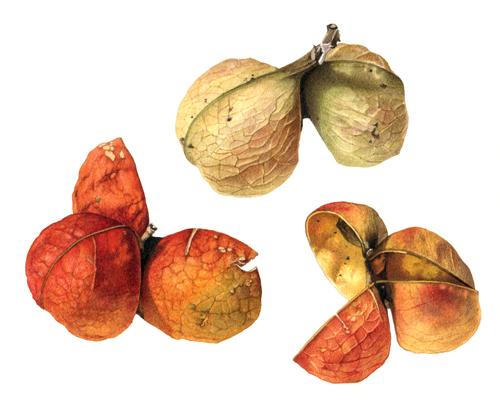 tulipwood seedpod